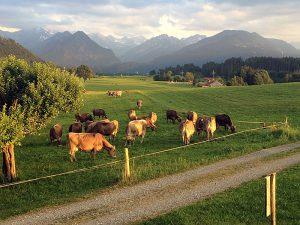 Wo gibt's die glücklichsten Kühe?